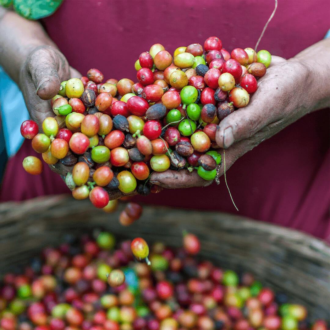 Coffee Plant Perk Coffee Blog